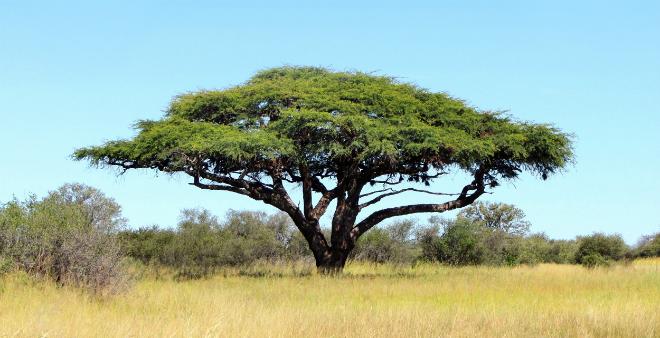 Ein Akazienbaum in der Natur