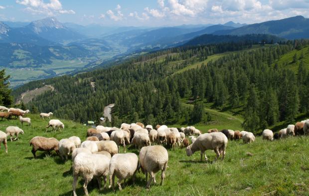 Schafe auf einer Bergweide in der Steiermark