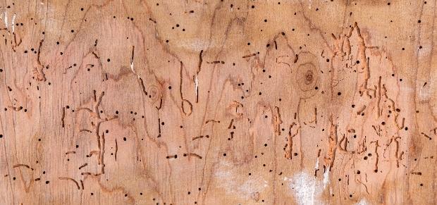 Typische Lamellenstruktur des gewöhnlichen Holzwurms